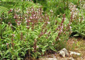 Heilkräuter günstig online kaufen z.B. Salbei Salvia officinalis