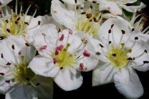 Heilkräuter online bestellen z.B.Weissdorn Crataegus Oxyacantha