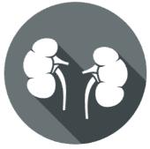 Die Organuhr - Niere