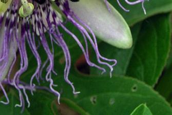 Antiparasitäre Pflanzen (Kuren)